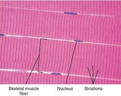 striated-muscle