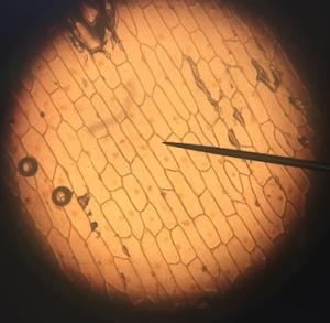 cheek cell