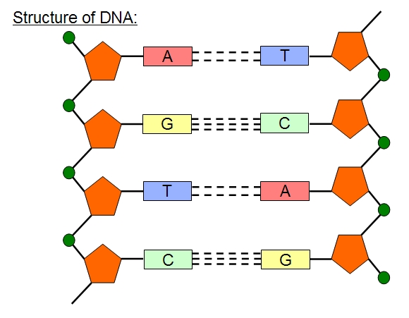Mr Horrocks U2019 Biology  U2013 2 6 Structure Of Dna And Rna