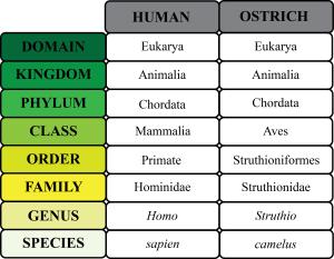 Human_vs_Ostrich_Taxonomy