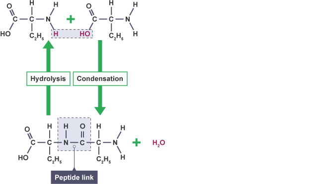 The characteristics and uses of cellulose molecules
