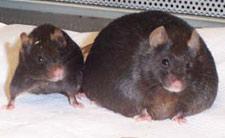 leptin mice