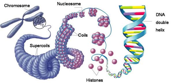 00 Eukaryotic Chromosomes
