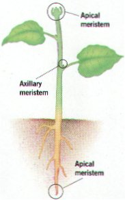 image credit: apical meristems