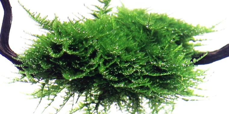 vesicularia-dubyana-christmas-moss-on-small-wood-[2]-1063-p