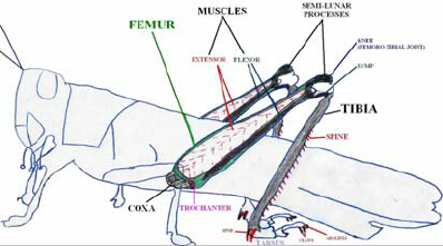 Figure-1-Anatomy-of-a-Grasshopper-and-leg-mechanism-7-10-2