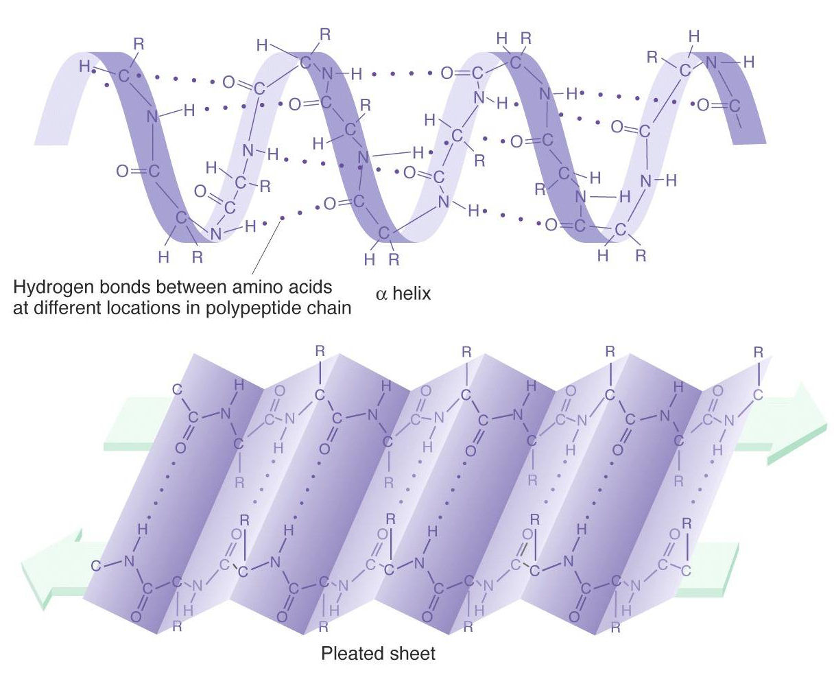 Solved: the alpha-helix and beta pleated sheet are example.